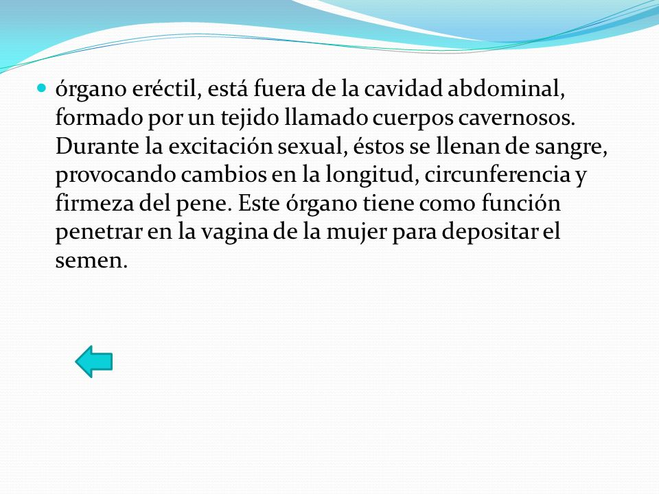 órgano eréctil, está fuera de la cavidad abdominal, formado por un tejido llamado cuerpos cavernosos.