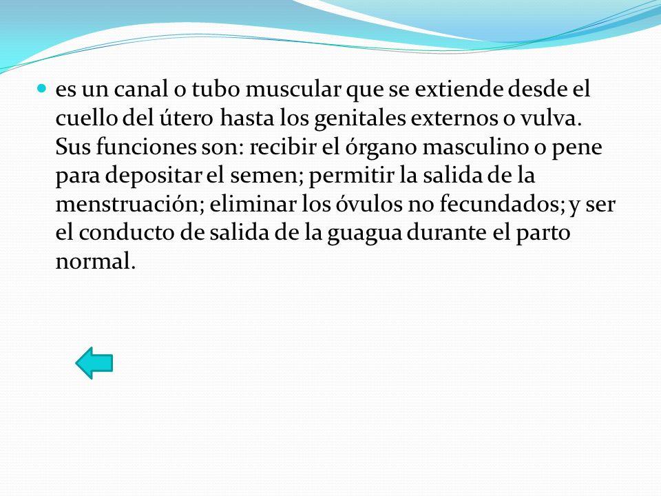 es un canal o tubo muscular que se extiende desde el cuello del útero hasta los genitales externos o vulva.