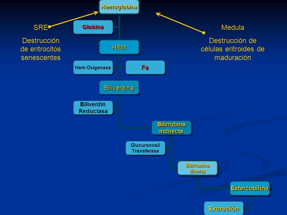 Destrucción de eritrocitos senescentes Medula