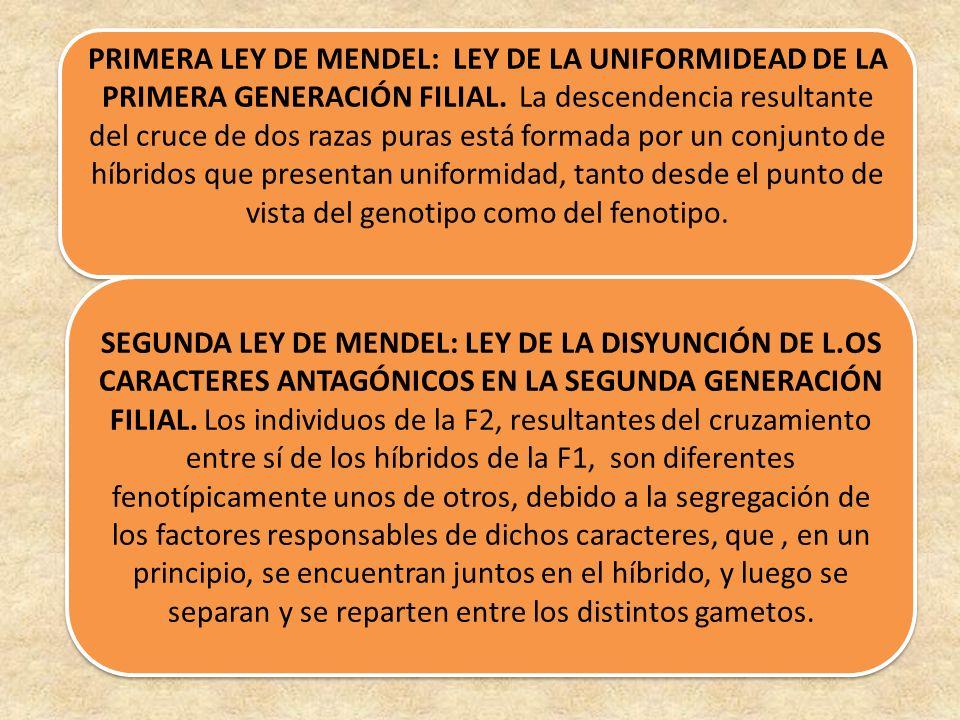 PRIMERA LEY DE MENDEL: LEY DE LA UNIFORMIDEAD DE LA PRIMERA GENERACIÓN FILIAL. La descendencia resultante del cruce de dos razas puras está formada por un conjunto de híbridos que presentan uniformidad, tanto desde el punto de vista del genotipo como del fenotipo.
