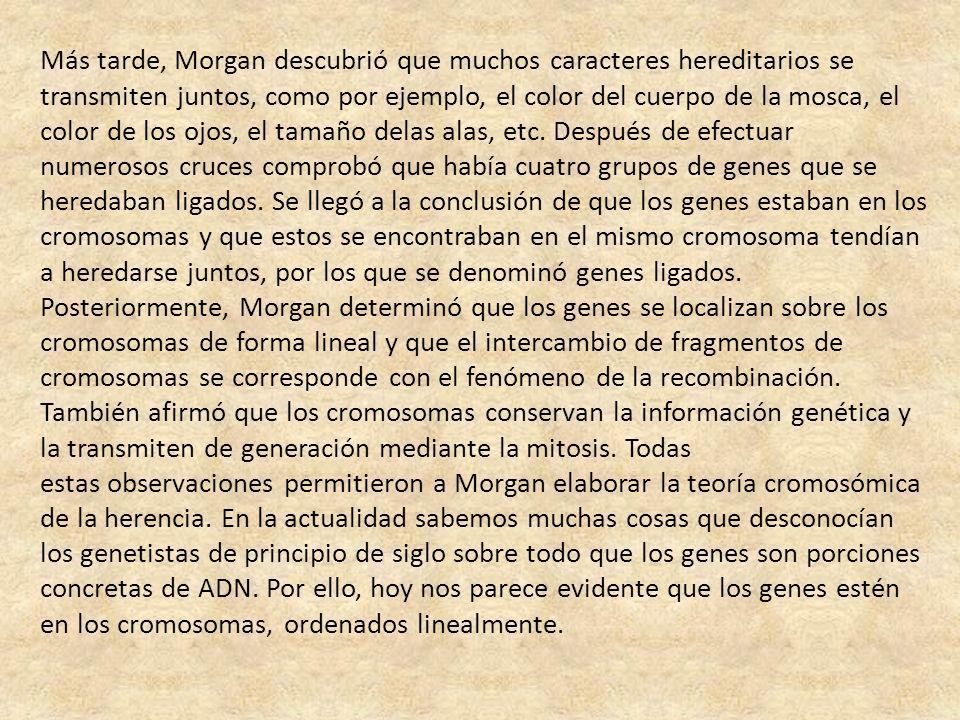 Más tarde, Morgan descubrió que muchos caracteres hereditarios se transmiten juntos, como por ejemplo, el color del cuerpo de la mosca, el color de los ojos, el tamaño delas alas, etc. Después de efectuar numerosos cruces comprobó que había cuatro grupos de genes que se heredaban ligados. Se llegó a la conclusión de que los genes estaban en los cromosomas y que estos se encontraban en el mismo cromosoma tendían a heredarse juntos, por los que se denominó genes ligados. Posteriormente, Morgan determinó que los genes se localizan sobre los cromosomas de forma lineal y que el intercambio de fragmentos de cromosomas se corresponde con el fenómeno de la recombinación. También afirmó que los cromosomas conservan la información genética y la transmiten de generación mediante la mitosis. Todas