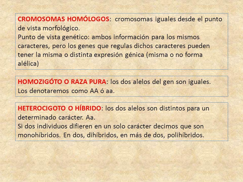 CROMOSOMAS HOMÓLOGOS: cromosomas iguales desde el punto de vista morfológico.