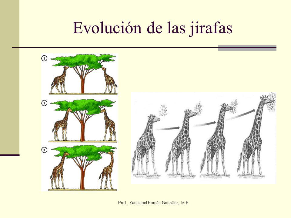 Evolución de las jirafas