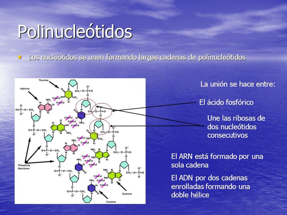 Polinucleótidos Los nucleótidos se unen formando largas cadenas de polinucleótidos. La unión se hace entre: