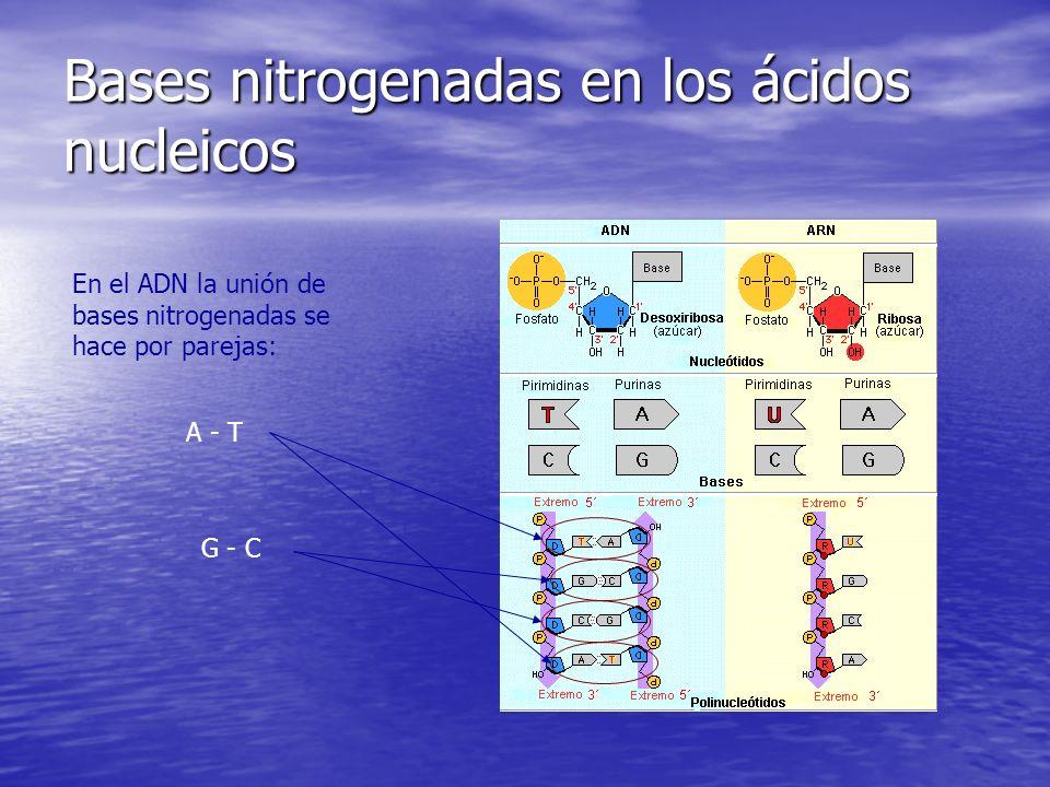 Bases nitrogenadas en los ácidos nucleicos