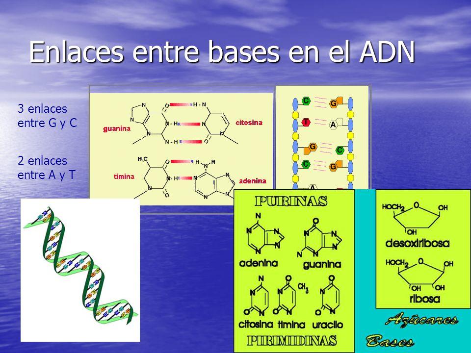 Enlaces entre bases en el ADN