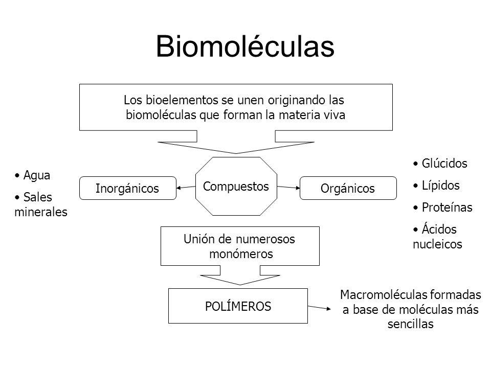 Biomoléculas Los bioelementos se unen originando las