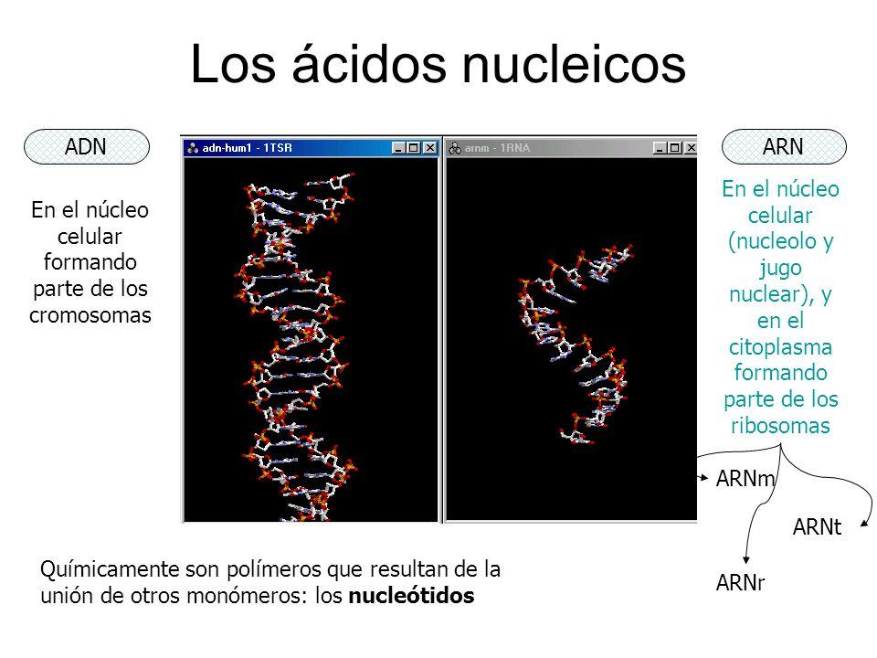 En el núcleo celular formando parte de los cromosomas