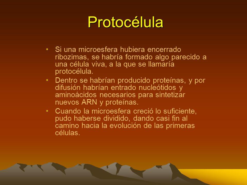 Protocélula Si una microesfera hubiera encerrado ribozimas, se habría formado algo parecido a una célula viva, a la que se llamaría protocélula.