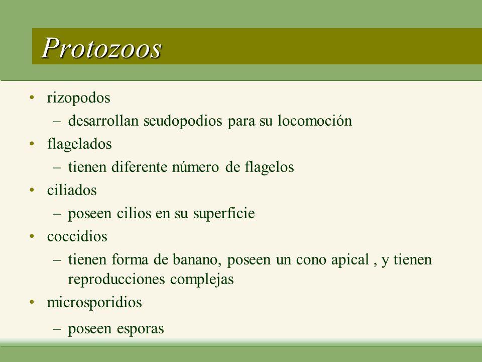 Protozoos rizopodos desarrollan seudopodios para su locomoción