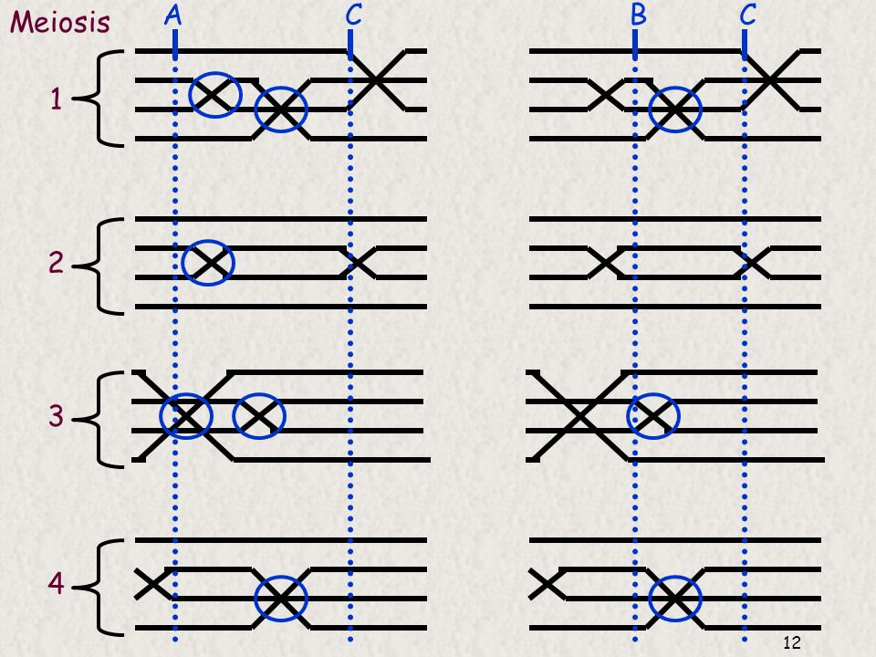 A C B C Meiosis 1 2 3 4