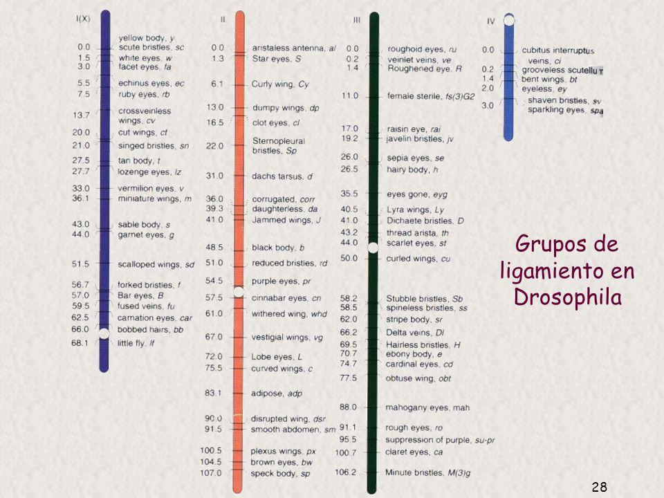 Grupos de ligamiento en Drosophila