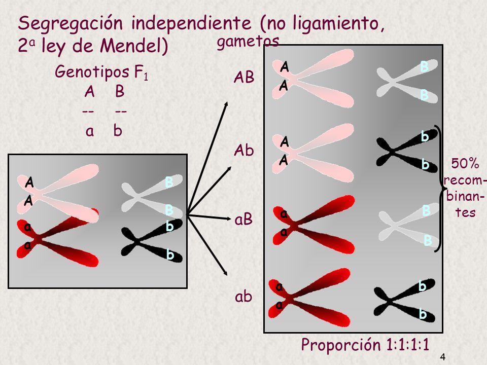 Segregación independiente (no ligamiento, 2a ley de Mendel)
