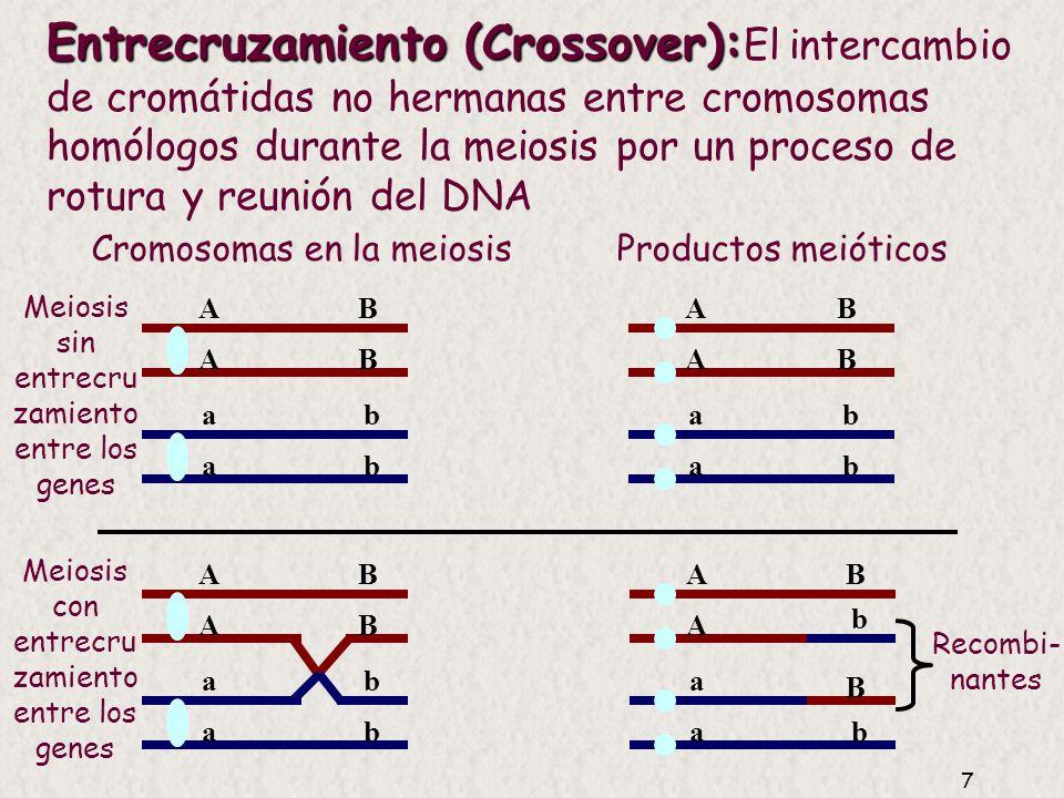 Cromosomas en la meiosis Productos meióticos