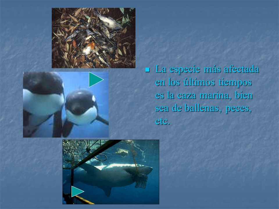 La especie más afectada en los últimos tiempos es la caza marina, bien sea de ballenas, peces, etc.