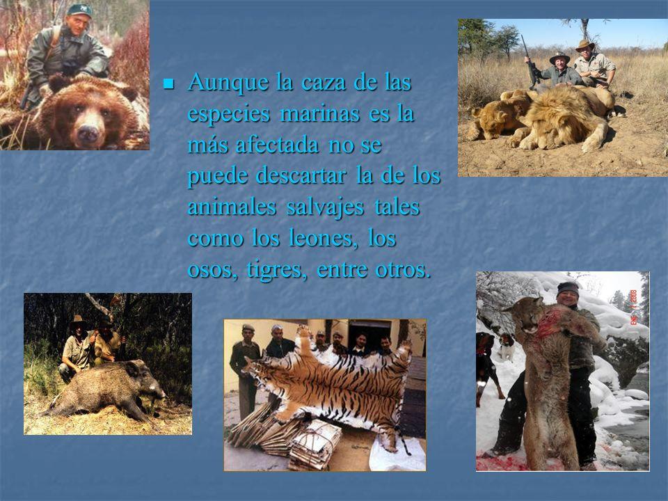 Aunque la caza de las especies marinas es la más afectada no se puede descartar la de los animales salvajes tales como los leones, los osos, tigres, entre otros.
