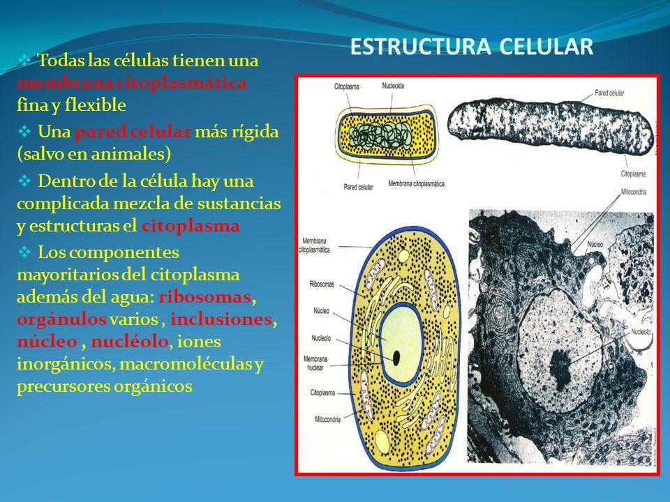 ESTRUCTURA CELULAR Todas las células tienen una membrana citoplasmática fina y flexible. Una pared celular más rígida (salvo en animales)
