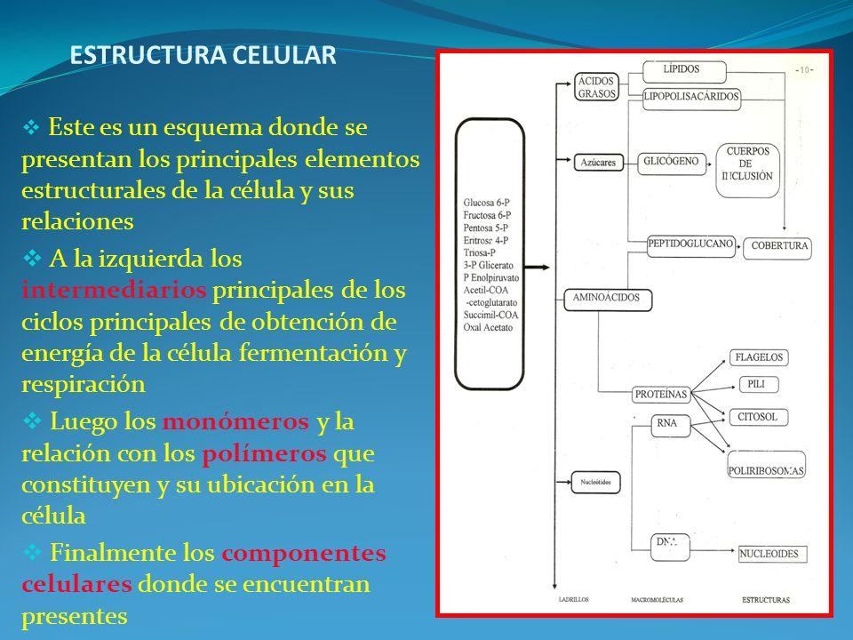 ESTRUCTURA CELULAR Este es un esquema donde se presentan los principales elementos estructurales de la célula y sus relaciones.