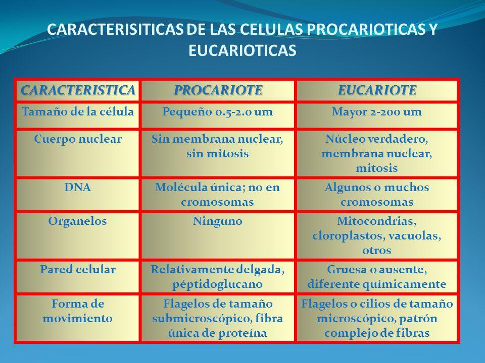 CARACTERISITICAS DE LAS CELULAS PROCARIOTICAS Y EUCARIOTICAS