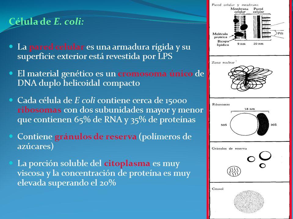 Célula de E. coli: La pared celular es una armadura rígida y su superficie exterior está revestida por LPS.
