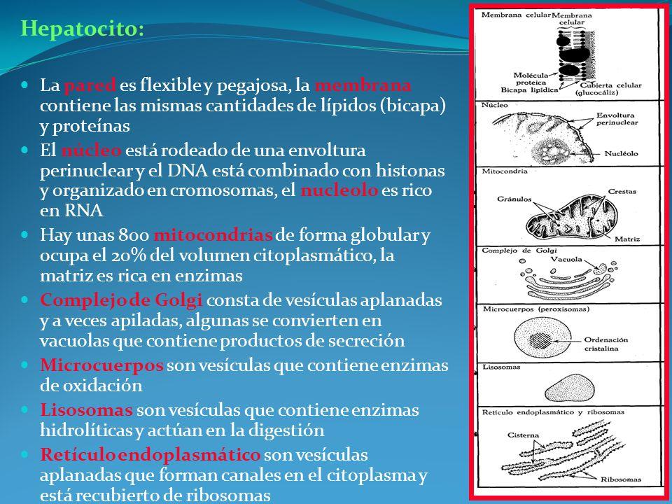Hepatocito: La pared es flexible y pegajosa, la membrana contiene las mismas cantidades de lípidos (bicapa) y proteínas.