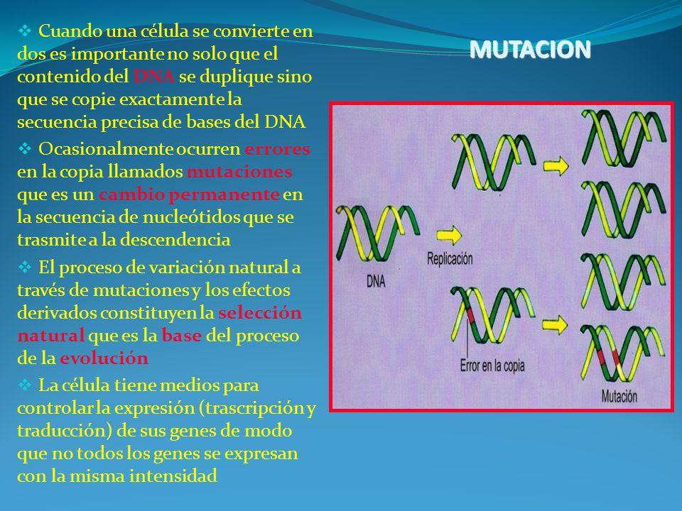 Cuando una célula se convierte en dos es importante no solo que el contenido del DNA se duplique sino que se copie exactamente la secuencia precisa de bases del DNA