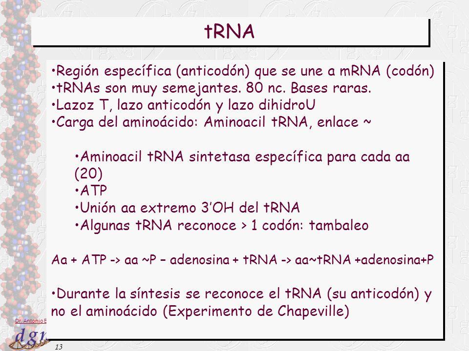 tRNA Región específica (anticodón) que se une a mRNA (codón)