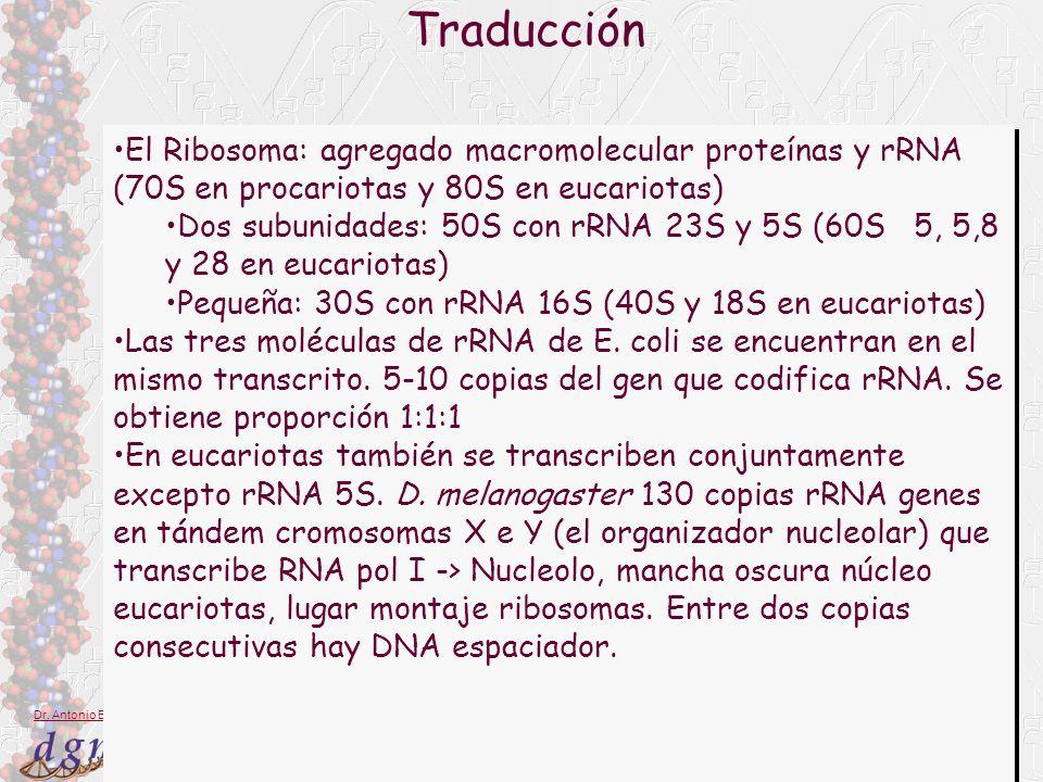 Traducción El Ribosoma: agregado macromolecular proteínas y rRNA (70S en procariotas y 80S en eucariotas)