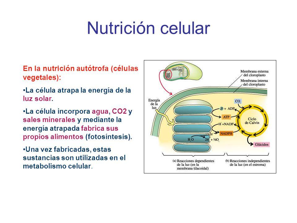 Nutrición celular En la nutrición autótrofa (células vegetales):