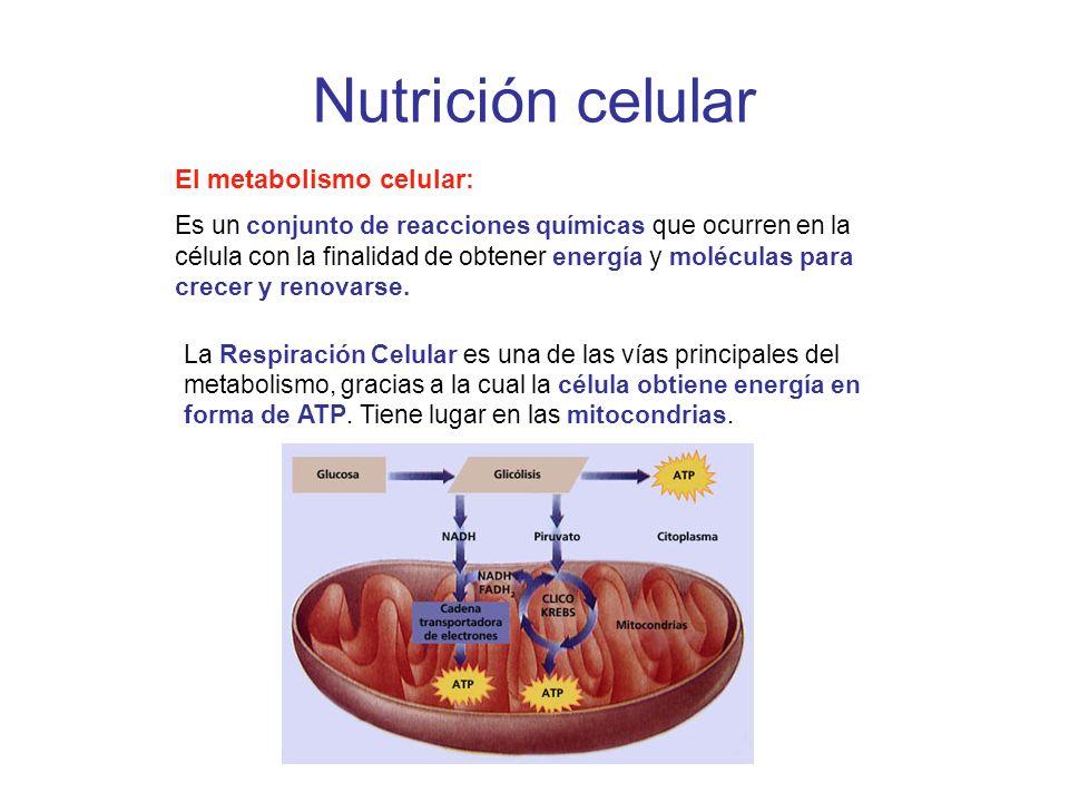 Nutrición celular El metabolismo celular: