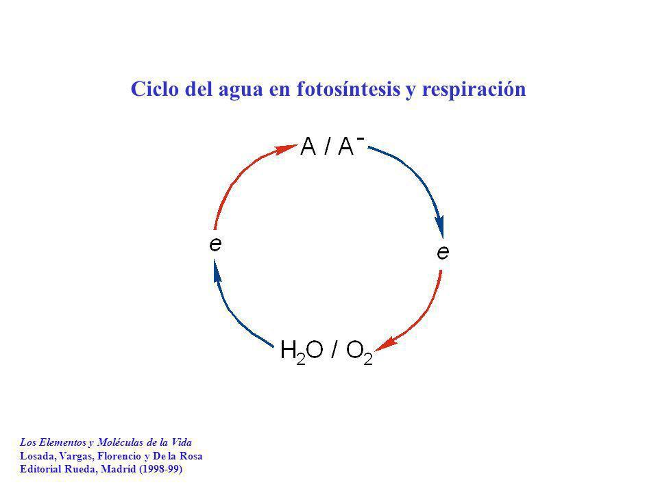 Ciclo del agua en fotosíntesis y respiración