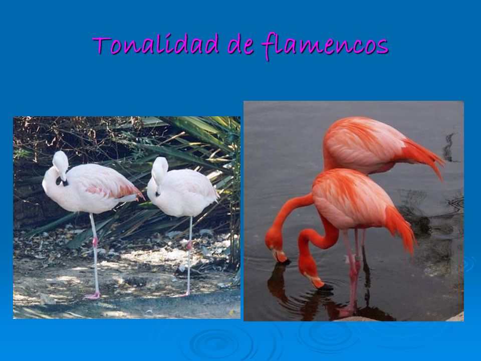 Tonalidad de flamencos