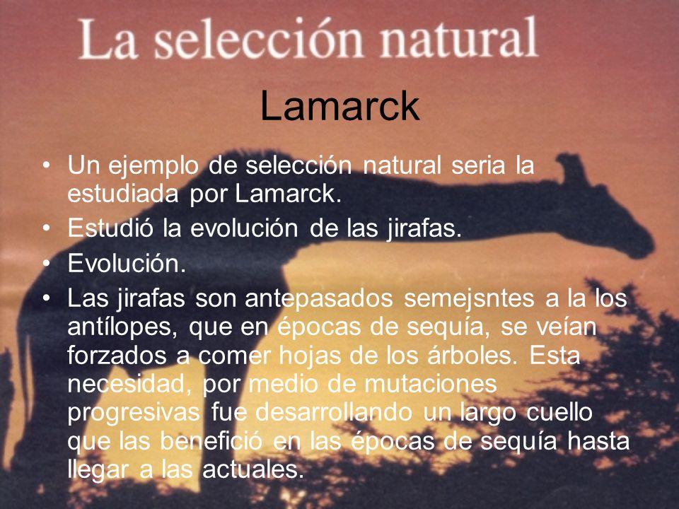 Lamarck Un ejemplo de selección natural seria la estudiada por Lamarck. Estudió la evolución de las jirafas.