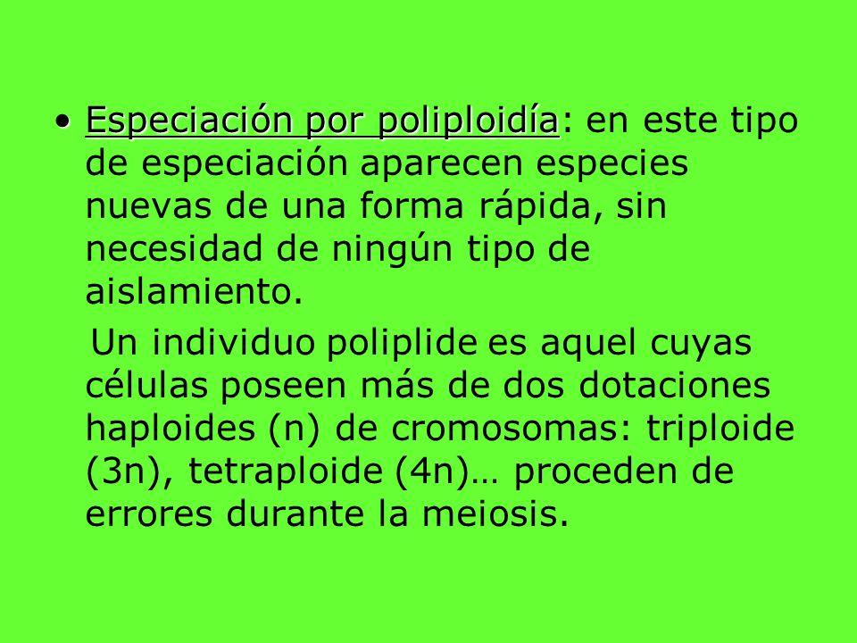 Especiación por poliploidía: en este tipo de especiación aparecen especies nuevas de una forma rápida, sin necesidad de ningún tipo de aislamiento.
