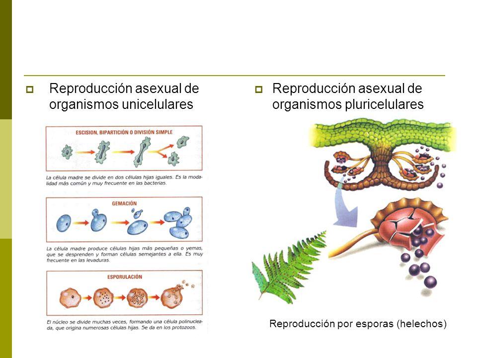 Reproducción asexual de organismos unicelulares
