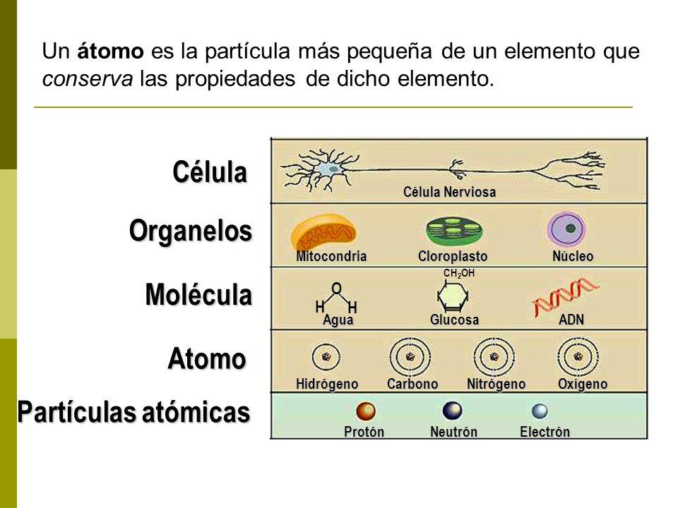 Célula Organelos Molécula Atomo Partículas atómicas