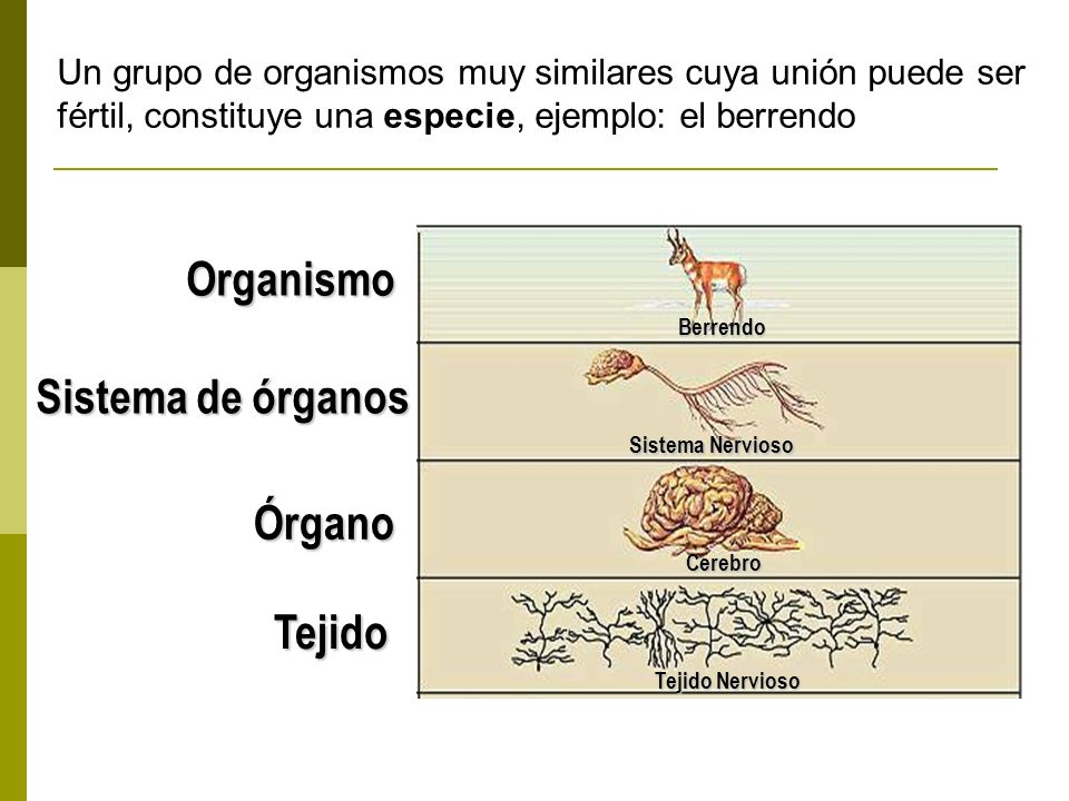 Organismo Sistema de órganos Órgano Tejido