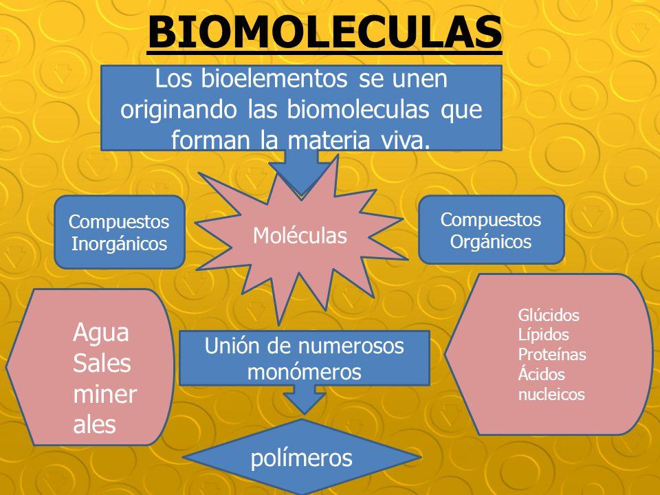BIOMOLECULAS Los bioelementos se unen originando las biomoleculas que forman la materia viva. Moléculas.