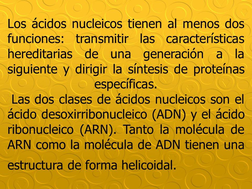 Los ácidos nucleicos tienen al menos dos funciones: transmitir las características hereditarias de una generación a la siguiente y dirigir la síntesis de proteínas específicas.
