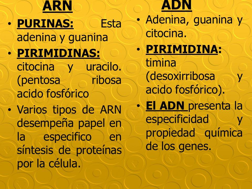 ADN ARN Adenina, guanina y citocina. PURINAS: Esta adenina y guanina