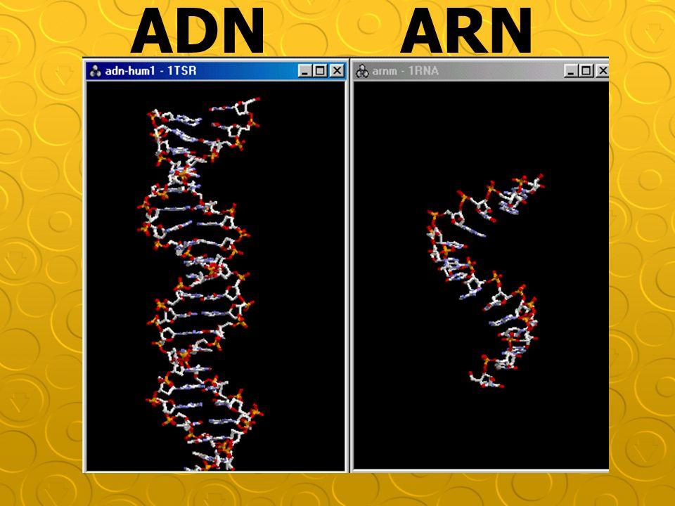 ADN ARN