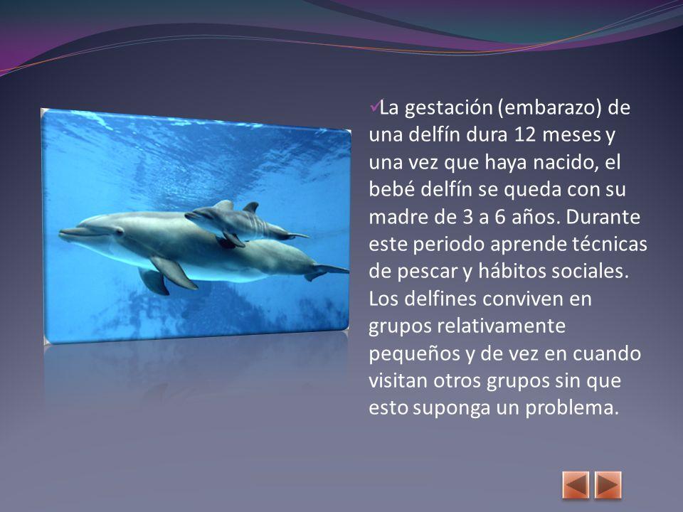 La gestación (embarazo) de una delfín dura 12 meses y una vez que haya nacido, el bebé delfín se queda con su madre de 3 a 6 años.