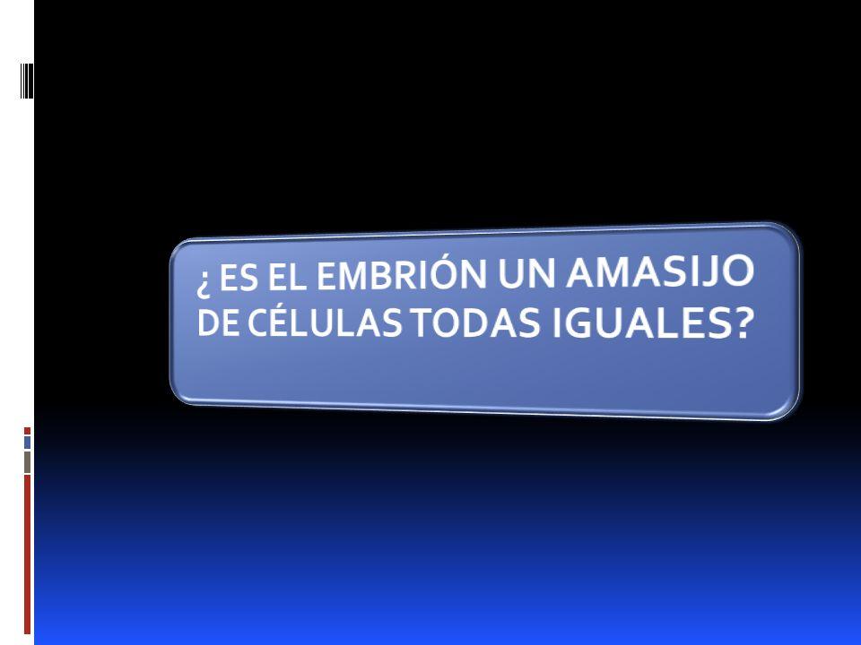 ¿ ES EL EMBRIÓN UN AMASIJO DE CÉLULAS TODAS IGUALES