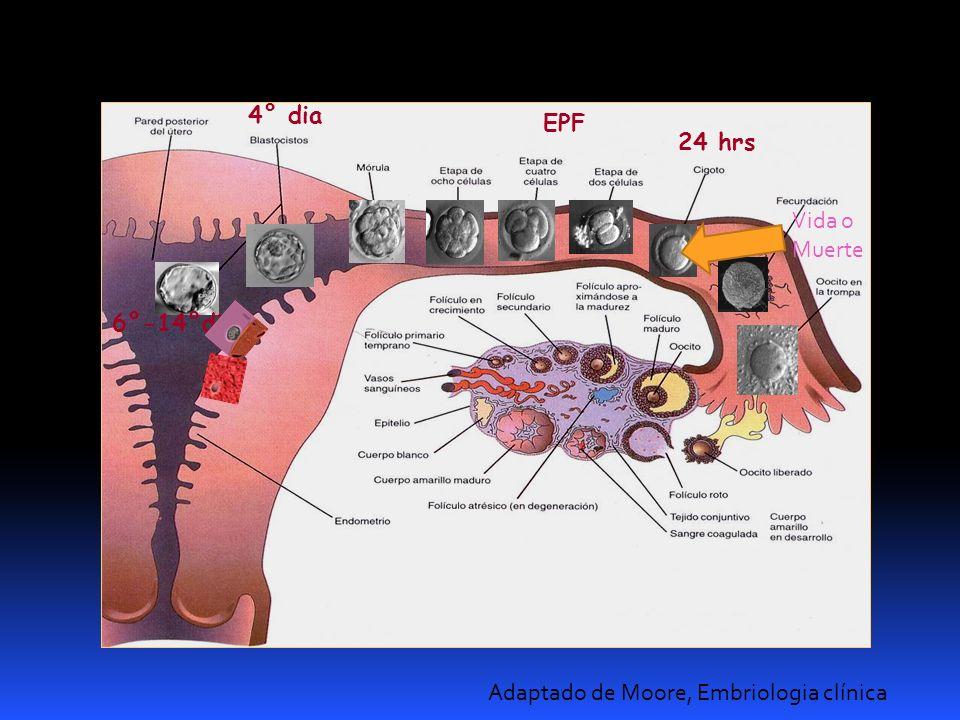 Adaptado de Moore, Embriologia clínica