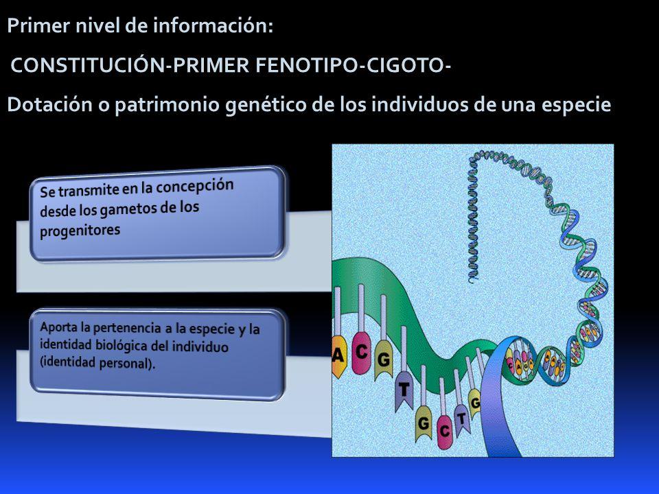 Primer nivel de información: CONSTITUCIÓN-PRIMER FENOTIPO-CIGOTO-