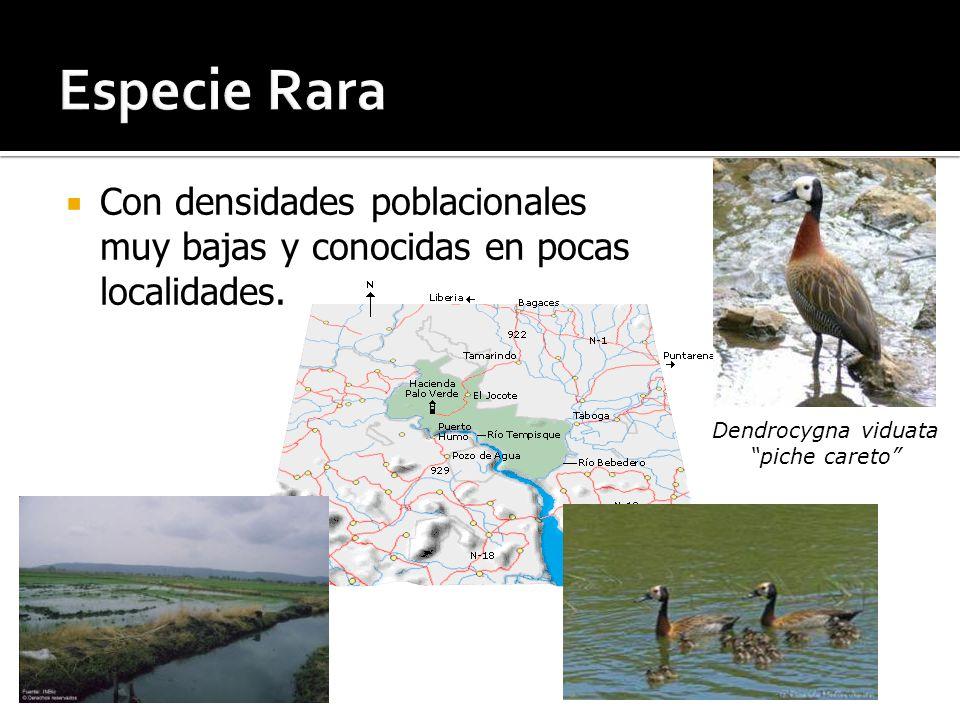 Especie Rara Con densidades poblacionales muy bajas y conocidas en pocas localidades. Dendrocygna viduata.