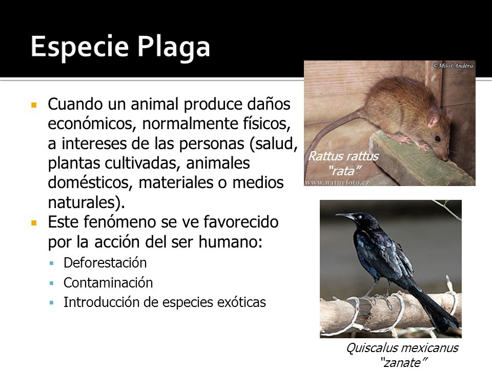 Especie Plaga