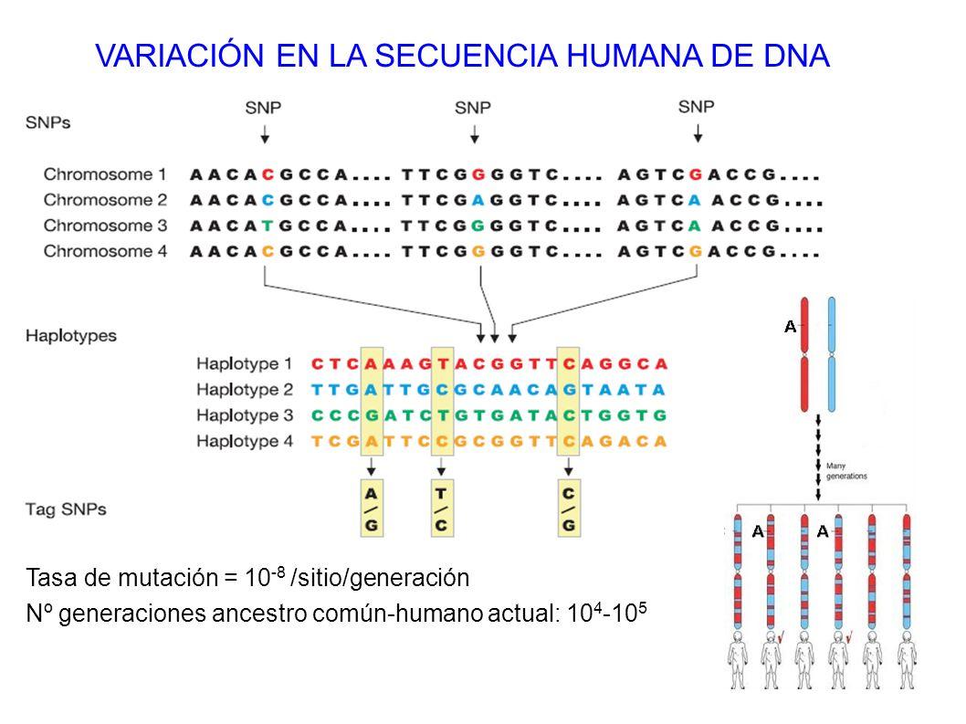 VARIACIÓN EN LA SECUENCIA HUMANA DE DNA