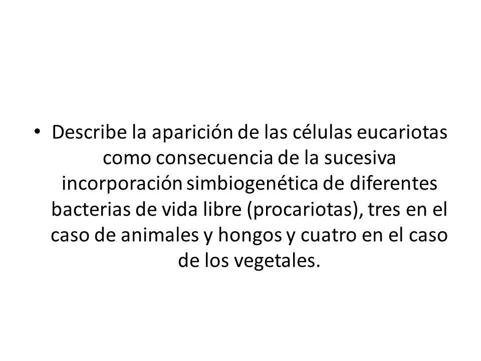 Describe la aparición de las células eucariotas como consecuencia de la sucesiva incorporación simbiogenética de diferentes bacterias de vida libre (procariotas), tres en el caso de animales y hongos y cuatro en el caso de los vegetales.