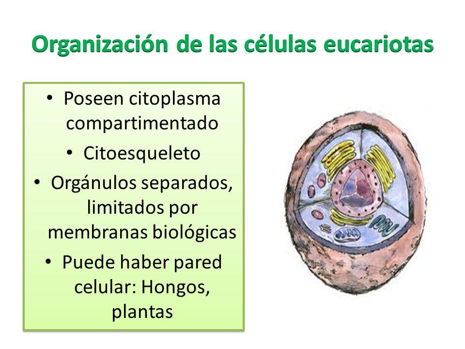 Organización de las células eucariotas